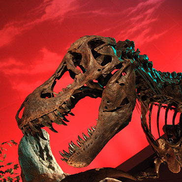 The skeleton of a Tyrannosaurus rex against a red background