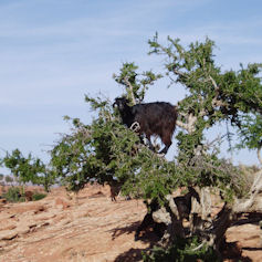 Goat in a tree in the desert